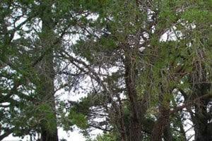 Pine Trees at Ballyoncree