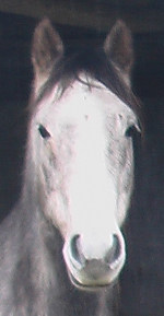 Doughal, one of the Brumbies at Ballyoncree