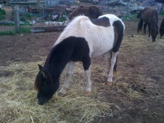Tao, one of the Jeparit ponies who have been killed