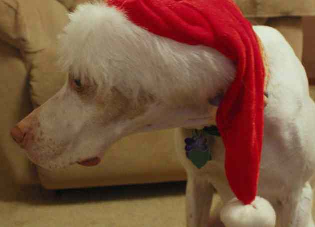 Sad dog in a Christmas hat