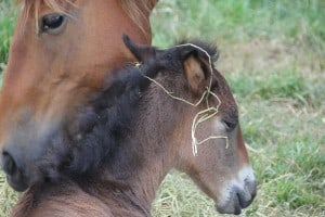 Brumby mare and foal, January 2012