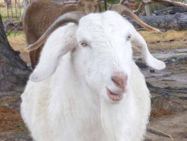 Peter the Goat