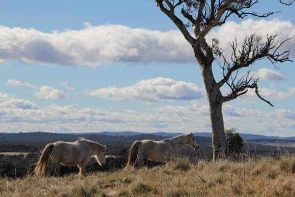 Brumbies on a Hill