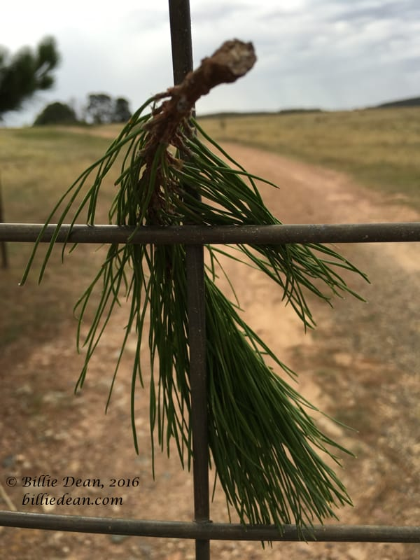 Pine twig in Gate